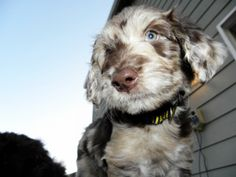 Aussiedoodle Pictures – Summer 2012