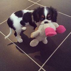 Jade the cavalier - my toy !!! So cute !