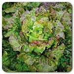 Organic Lovelock Lettuce...need to try it
