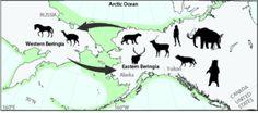 Schematic diagram of faunal exchange across Beringia (Bering Land Bridge) during the Pleistocene. Credit: Art credit Alycia Stigall https://www.sciencedaily.com/releases/2016/09/160927135351.htm