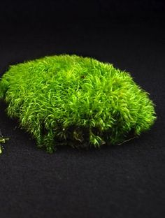 Acrocarpous Moss – A type of moss in which the archegonia (i. female sex organs), and hence the capsules are borne at the tips of stems or branches. Acrocarpous mosses may branch extensively; once they have fruited, branches take over the erect growth. Bonsai, Growing Moss, Growing Plants, Shade Garden, Garden Plants, Moss Lawn, Types Of Moss, Garden Stones, Plant Care