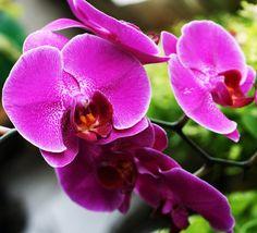 3 способа стимулирования цветения фаленопсисов