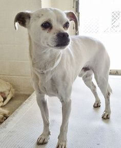 He's 5 and super cute, mellow and sweet but he's really sad and really wants to go home. Please SHARE, a FOSTER would save his life. Thanks!  #A4812208 I'm an approximately 5 year old male chihuahua sh. I am not yet neutered. I have been at the Carson Animal Care Center since March 26, 2015. I will be available on March 31, 2015. You can visit me at my temporary home at C246.  http://www.petharbor.com/pet.asp?uaid=LACO1.A4812208  Carson Shelter, Gardena, California