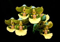 Low Cost Flowers Shipping And Delivery - An Anniversary Reward Without A Significant Selling Price Tag Orchid: Trichocentrum Bicallosum Strange Flowers, Unusual Flowers, Most Beautiful Flowers, Rare Flowers, Pretty Flowers, Weird Plants, Unusual Plants, Exotic Plants, Mini Orquideas