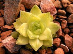 Haworthia cymbiformis | Succulent | Groovy Plants Ranch