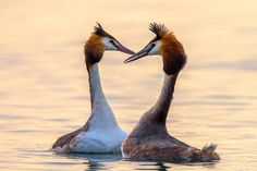 """The courtship period of great crested grebes is started! How to show this idyll with a photo?! With a heart, as a symbol of their love!  Italy  Website: <a href=""""http://www.robertomelotti.net/"""">www.robertomelotti.net</a>"""