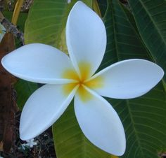 Plumeria....one of my favs