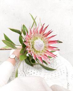 king protea, kenzie b. Love Flowers, Wild Flowers, Beautiful Flowers, Wedding Flowers, Protea Wedding, King Protea, Indoor Flowering Plants, Language Of Flowers, Red Roses