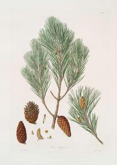 Pinus halepensis = Aleppo pine (1837)