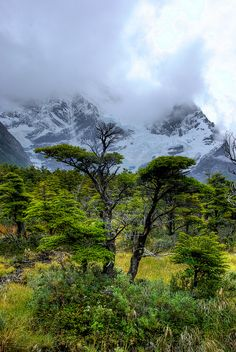 Tree in Patagonia