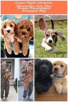 Cavapoo Puppies: Information, Characteristics, Facts, Videos #cavapoo #cavapoopuppies #cutepuppies #dogs - DOGBEAST dogs And Puppies Cavapoo Puppies: Information, Characteristics, Facts, Videos #cavapoo #cavapoopuppies #cutepuppies #dogs Cavapoo Puppies, Cute Puppies, Dogs And Puppies, Dog Food Recipes, Corgi, Facts, Videos, Animals, Animales