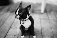 wee funny looking black and white dog on out of focus black and white floorboards by Gordon Chalmers