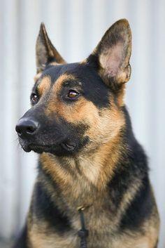 #German #shepherd #dog by Sofia.Art #germanshepherd