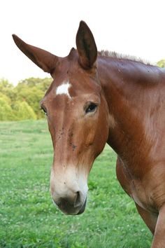 Pictures of Mules -- Animal Photos!