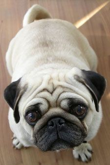 Pug Oh, what a beautiful face ! Carol Sopher via Robin Harley onto PUGS II #Pug