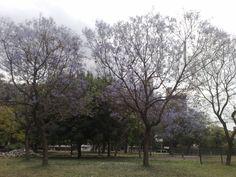 Parque Chacabuco en primavera, noviembre 2010 con los jacarandaes florecidos
