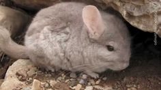 RESCUED: Share Chinchillas' Heartbreaking Story