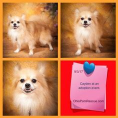 Cayden is an adoptable pomeranian searching for a forever family near Delaware, OH. Use Petfinder to find adoptable pets in your area.