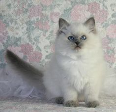 Ragdoll Kitten, Ill be getting this or a German Shepard the moment I move out.