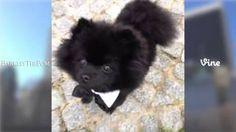 barkley the pom - YouTube soo cute