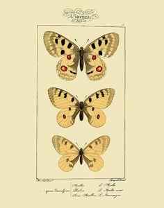 Vintage Butterfly Lepidoptera Entomology by michaelellisstudios