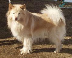 Lovely Cream Finnish Lapphund from the UK.