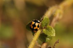Photo Cute one. by Pierre Anex on Yellow Ladybug, New Years Sales, Lunar New, Caterpillar, Nepal, Insects, Ladybugs, Cute, Photography