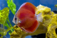 Red Cover Discus