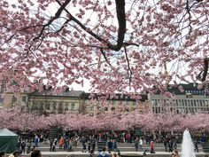 Sakura Matsuri cherry blossom festival in Stockholm