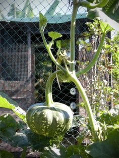 Vertical gardening with trellises for squash will allow small garden owners the ability to raise fresh natural fruits for their own use. Learn how to grow squash on a trellis in the following article.
