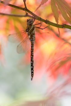 Dragonfly hanging out in colorful leaves