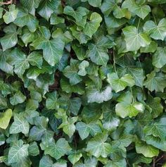 Salvia nemorosa 'Mainacht' ⋆ Bast de Plantgigant Astrantia, Geraniums, Herbs, Lavender, Herb, Medicinal Plants
