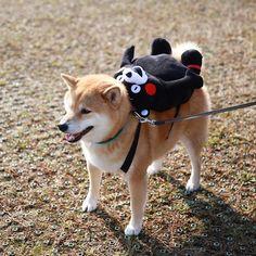 柴犬+熊书包的组合