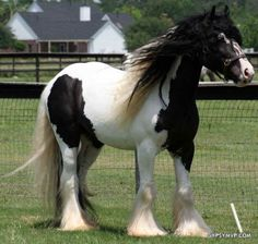 Pretty boy! Gypsy Horse | Gelding | Lancelot