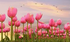 Birds Flying Over Pink Tulips pink flowers birds animated fly gif tulips
