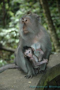 monkey-forest-ubud-bali.jpg 750×1,128 pixels