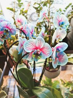 #orchid #phalaenopsis #bluephale Magnolia, Orchids, Plants, Blue, Magnolias, Plant, Planets, Orchid