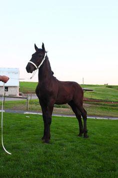 http://horsesforsales.net/percheron-gelding-colt/