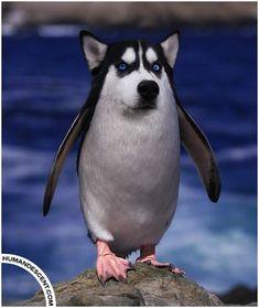 Husquin (Husky + Penguin)