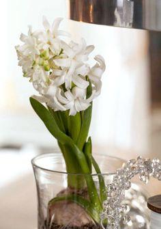 SVIBEL Vitenskapelig navn: Hyacinthus orientalis
