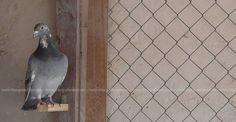 Aspectos básicos de la salud de nuestras palomas ..