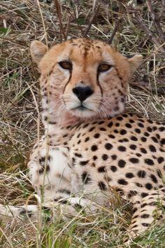 elfoton14 #categoría #Fauna En el Concurso de Fotografía Elfoton.es tenemos 9 categorías para que todo el mundo encuentre la suya. #Instagram #sinfiltros Participa hasta 15 de  julio en http://elfoton.com Usuario: jero (España) - Saciado - Tomada en Masai Mara / Kenya el 29/08/2012