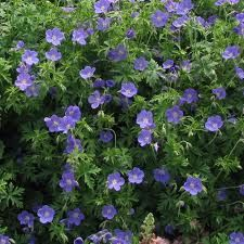 Geranium 'Brookside' Sapphire-blue flowers with white centre flowers from June to September. H: 45cm Spread: 75cm