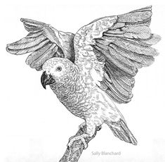 Companion Parrot Online Magazine, Sally Blanchard (formerly Pet Bird Report, Companion Parrot Quarterly) Ink Pen Drawings, Bird Drawings, Animal Drawings, Parrot Drawing, Drawing Commissions, Scratchboard Art, African Grey Parrot, Grey Art, Drawing Projects