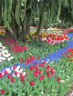 Crossing lines of color in the Roozengaarde Gardens at the Skagit Tulip Festival in Washington State. Photo by Taryn Koerker.