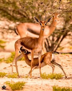 """""""(forlornly) I never love a gazelle but it was sure to...(Gazelles are leaping, feeding on the mountains. Near are lakes...)"""" (15.1323-1324)"""