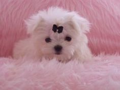 Puppies for Free No Pay | Adorable Maltese Puppies For Free Adoption