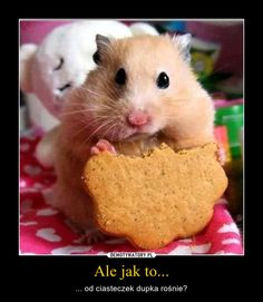 What do hamsters eat? ~ Hamster Care and Advice Cute Baby Animals, Animals And Pets, Funny Animals, Animals Images, Cute Photos, Cute Pictures, Happy Photos, Bear Hamster, Hamster Care