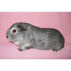 Female guinea pigs for sale - Listed by Sell it socially     GLDI9097    has been published on Sell it Socially