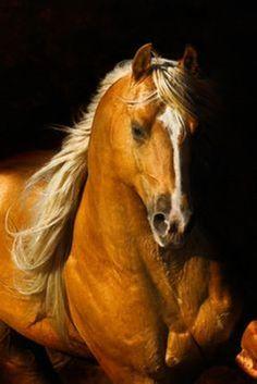 Cleric [Palomino Quarter Horse]